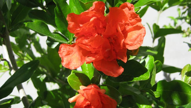 Pomegranate blooms are bright red and color the desert landscape.