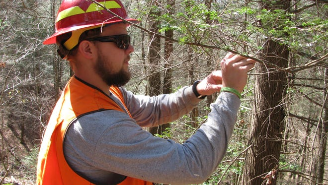 A forest worker releases predator beetles on a hemlock tree in Pisgah National Forest. The beetles are a biological control for the damaging hemlock woolly adelgid.