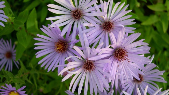 'Raydon's Favorite' aromatic aster produces masses of lavender-blue flowers through the fall.