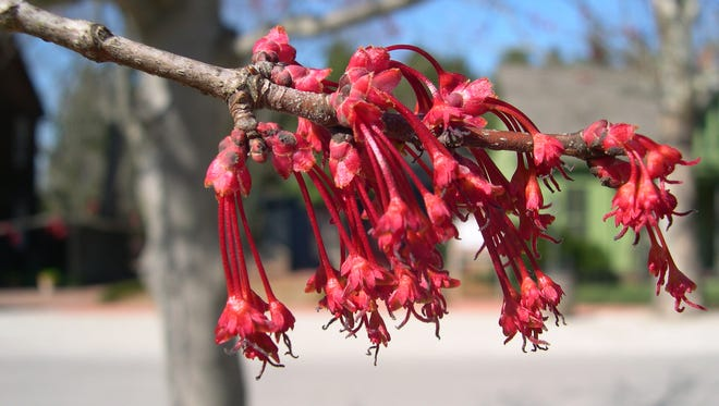 Red maple, (Acer rubrum) blooms are among the first of the season to open. Their blooms are subtle but for some, mark the beginning of spring.