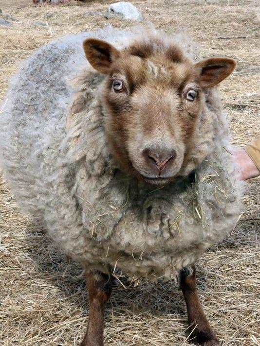 WSF 0323 Blind lamb