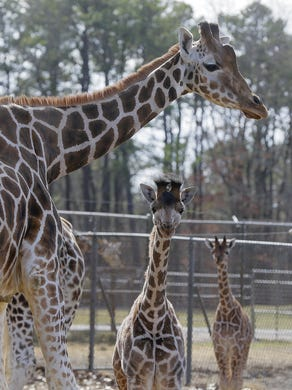 2017: Three baby giraffes walk around outside with their mothers at Six Flags Great Adventure and Safari in Jackson, NJ Monday February 27, 2017.