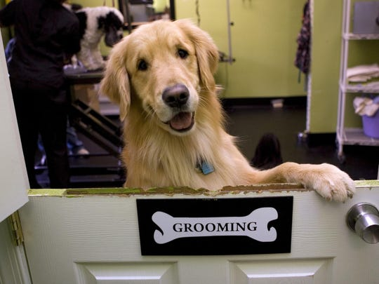 Golden retrievers are the third most popular purebred dog according to the latest American Kennel Club rankings.