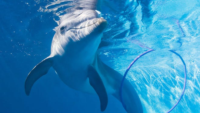 Clearwater Marine Aquarium's most famous resident is Winter the dolphin.