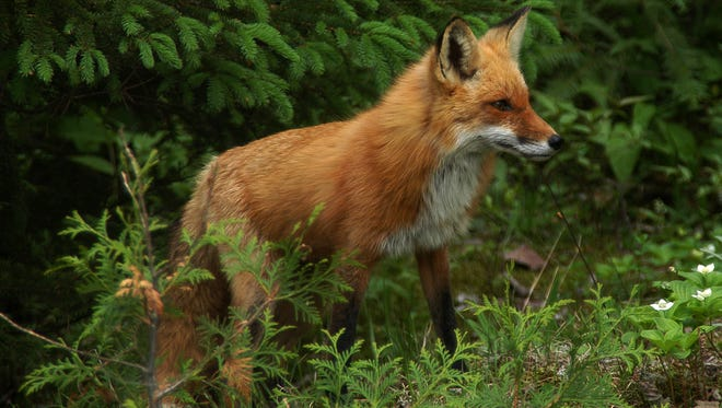 Foxes are fairly common in Maine.