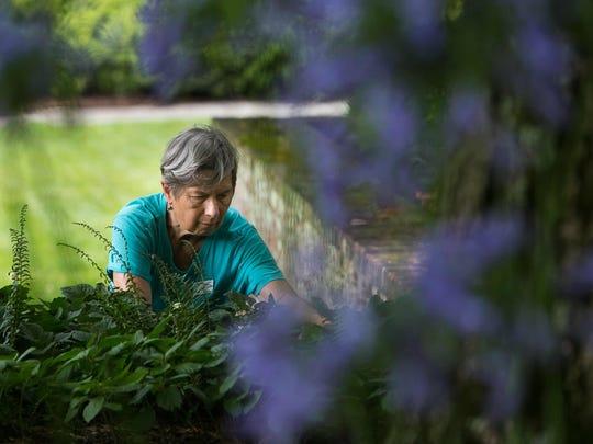 Volunteer Ann Ainsworth works in the garden near the main house terrace of Mt. Cuba Center.
