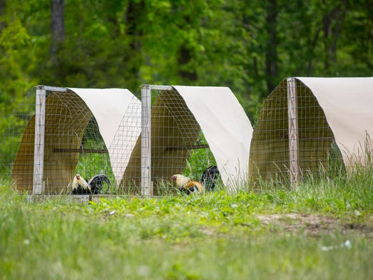 May 17, 2016: Chickens are seen Tuesday near the spot