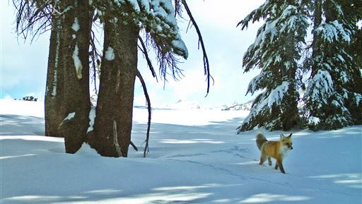 In this Dec. 13, 2014 image provided by the National Park Service from a remote motion-sensitive camera, a Sierra Nevada red fox walks in Yosemite National Park, Calif.