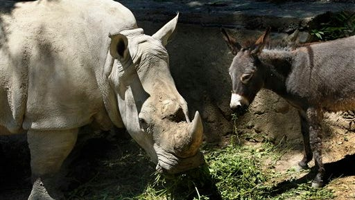 In this Saturday, June 14 photo, rhinoceros Manuela and a donkey are  in the same enclosure at the Tbilisi Zoo, Georgia. The zoo keepers tried to help Manuela the rhino who was feeling depressed by putting the donkey in the same enclosure. The strategy worked and the animals have been living peacefully together.