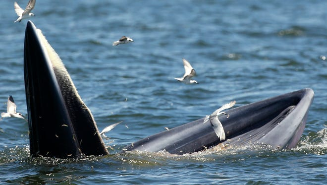 A Bryde's whale and seagulls feast on anchovies in the Gulf of Thailand on Sept. 9. Bryde's whale are a baleen medium-sized whale with dark grey color and a white underbelly and live in tropical to temperate waters. An estimated population of 30 to 35 Bryde's whales are commonly seen along the upper Gulf of Thailand coastlines, between March and October. The Bryde's whale is listed in the Convention on International Trade in Endangered Species of Wild Fauna and Flora (CITES) which prohibits international trade of any parts of the animal.