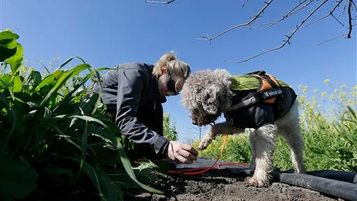 In this March 3 photo, trainer Alana McGee works with her dog Lolo to search for truffles at the Robert Sinskey Vineyards Truffle Orchard in Napa, Calif.