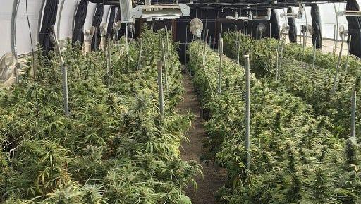 An illegal marijuana growing operation in Fillmore, taken in July.