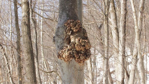 This undated photo shows a tree with a trunk burl in Rosendale, NY. The fat burl developing on this tree, which does it little or no harm, is valued by woodworkers for its swirling grain.