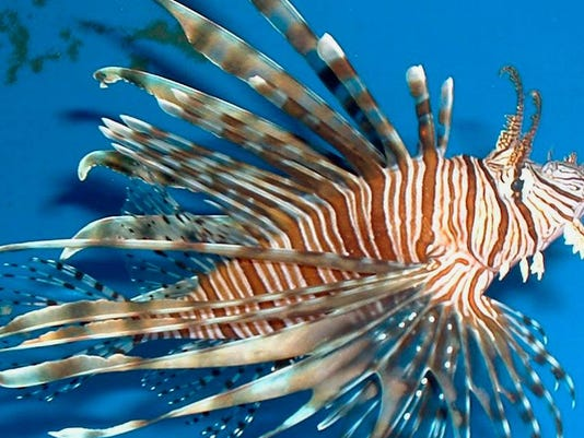 636631952375227549-lionfish-morris.jpg