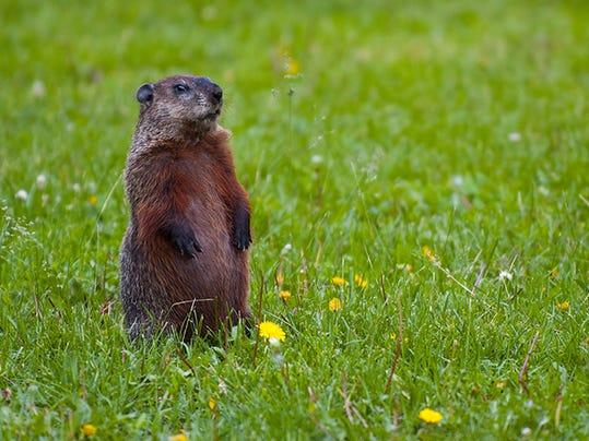 Groundhog,jpg.jpg
