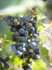 Small grapes with intense flavor are what Tom Mincarelli