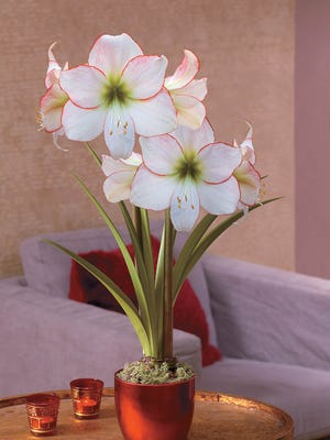 """Amaryllis, known botanically as Hippeastrum, like to be potbound. The """"Picotee"""" variety features bicolored flowers."""