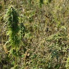 Wittenberg farm joins first hemp harvest in decades after changes to state law