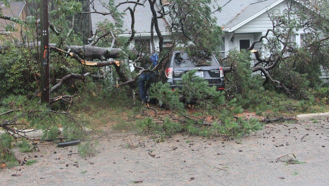 A large pine tree toppled over  Wednesday morning on Ingleside Avenue.