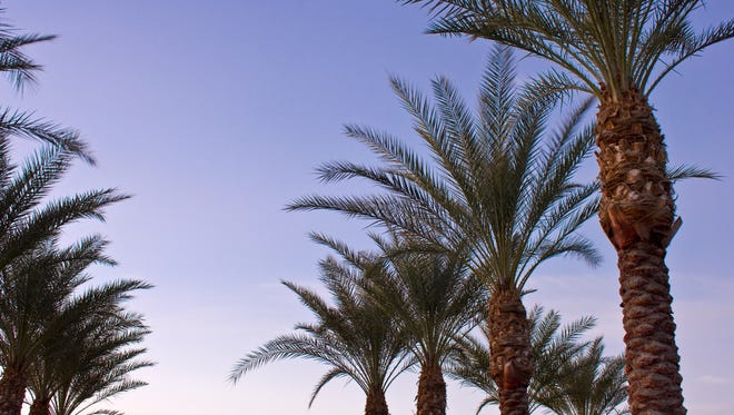 Date palms are pool perfect, and that's why you'll often see them in resorts.