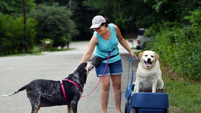 """SPENCER - Maria Korny, owner of Happy Wagging Tails dog walking service, takes Lulu, 7, and Dylan, 9, for a stroll and a roll near Smithville Road on Tuesday. The dogs belong to Judy Leary.  Dylan, 9, a yellow Lab, has cancer and """"loves to be outside"""" so has a modified wagon."""