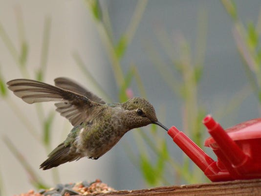 635980669883248298-hummingbird-at-feeder.jpg