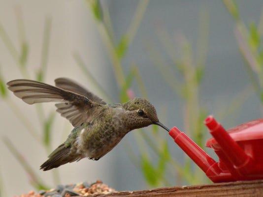 635980669883248298-hummingbird-at-feeder.jpg