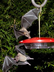 Nectar-feeding lesser long-nosed bats are attracted to a hummingbird feeder during a citizen-scientist bat-migration monitoring project in southern Arizona.