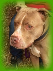Red is a 3-year-old, neutered male pit bull terrier.