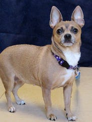 Feisty is a 6 year old Chihuahua mix who has a pep