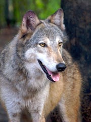 Misun is a rescued wolf who lives at Shy Wolf Sanctuary Education & Experience Center.