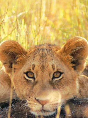 A lion cub studies the visitors. Not far away is his mother, watching over her brood.