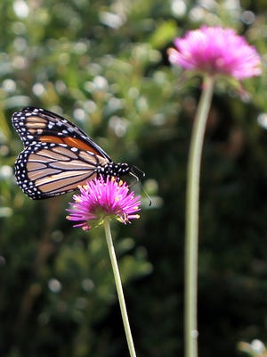 A butterfly alights on a flower at the west entrance to Lytle Park, downtown.