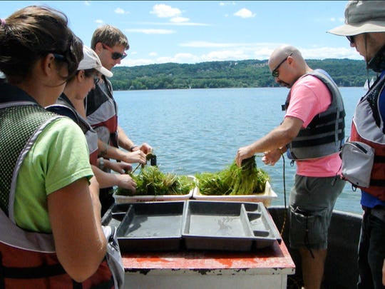 Five biologists who work with Bob Johnson sort aquatic weeds by species, searching for hydrilla. Hydrilla is invasive, and just one broken-off piece can proliferate new plants, and that growth can eventually overrun a waterway — starving fish of oxygen and filling the entire water column with an aquatic thicket.