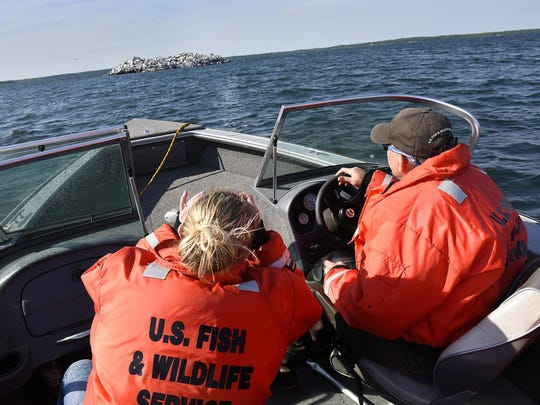 Mille Lacs National Wildlife Refuge Manager Walt Ford guides a boat near Spirit Island on June 2 on Lake Mille Lacs. The refuge consists of two tiny islands in Mille Lacs Lake that are important for colonial bird nesting. The refuge is the smallest of the nation's 563 refuges.