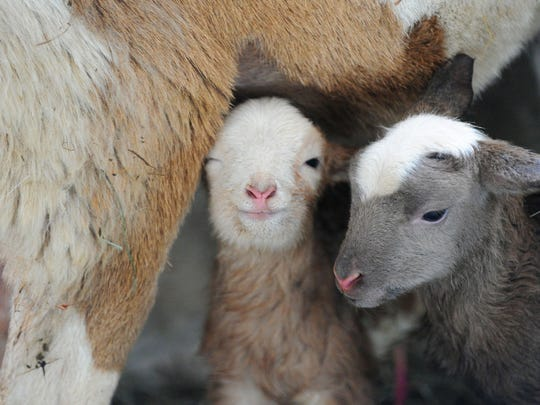 It is lambing season in Highland County. Twin lambs stay close together and with their mother at a barn at Big Valley Ranch near Monterey on Feb. 6, 2013, at Big Valley Ranch near Monterey.