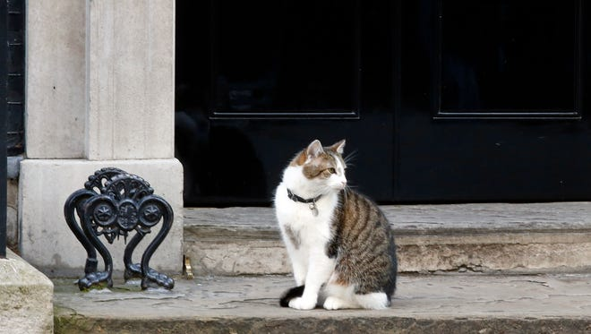 Larry the cat aka Chief Mouser sits on the steps of 10 Downing Street in London, on June 24, 2016.