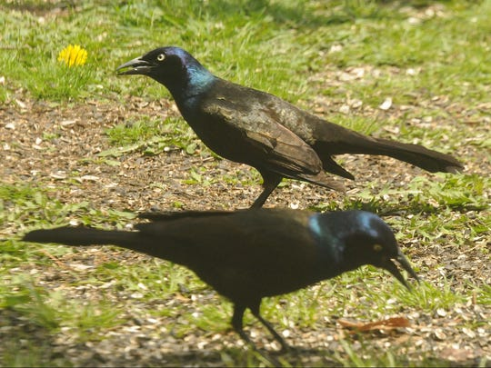 The nation's population of common grackles has plunged 61 percent the past 40 years.