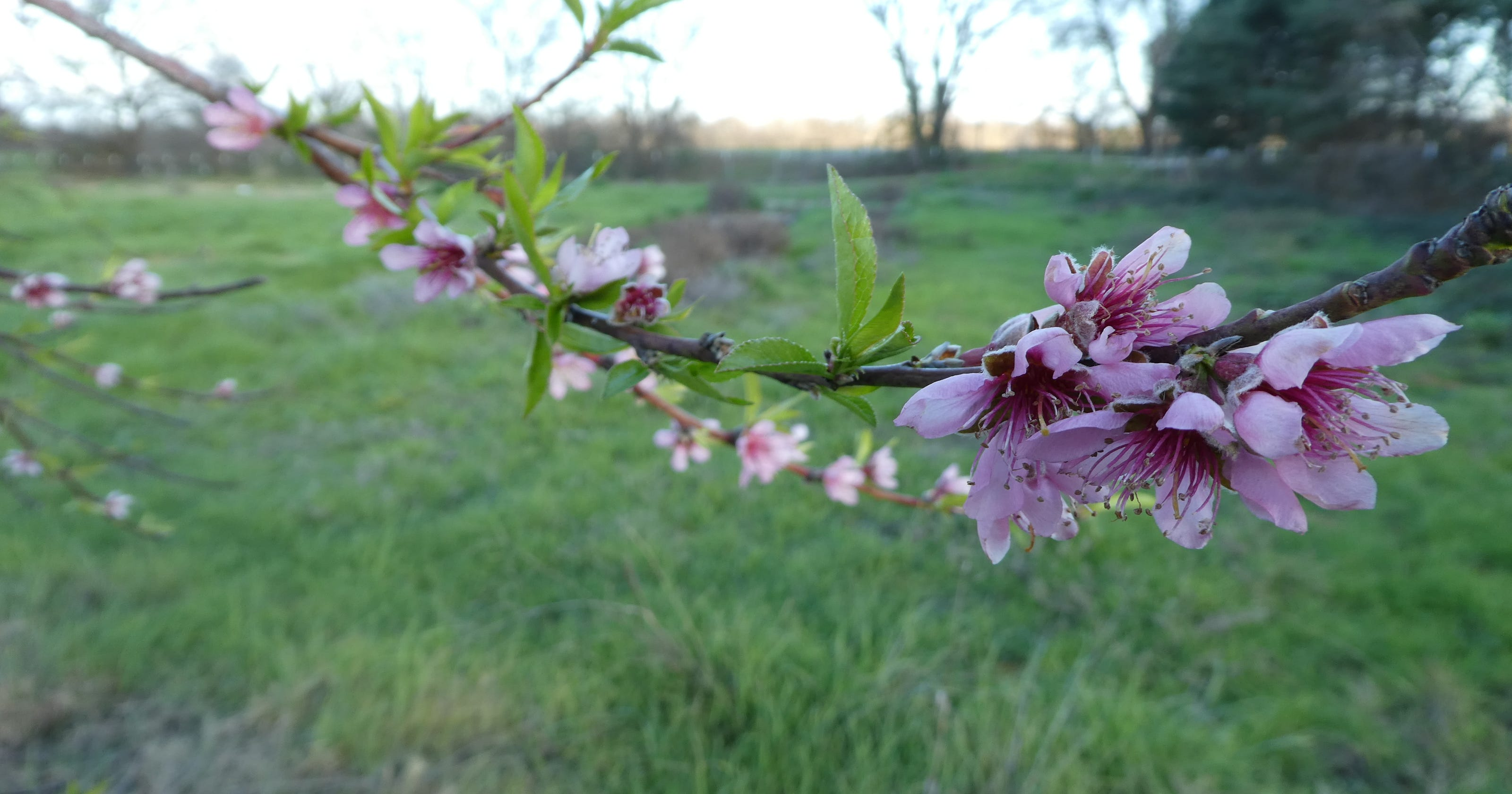 How To Protect Blooming Fruit Trees As Hard Freeze Approaches