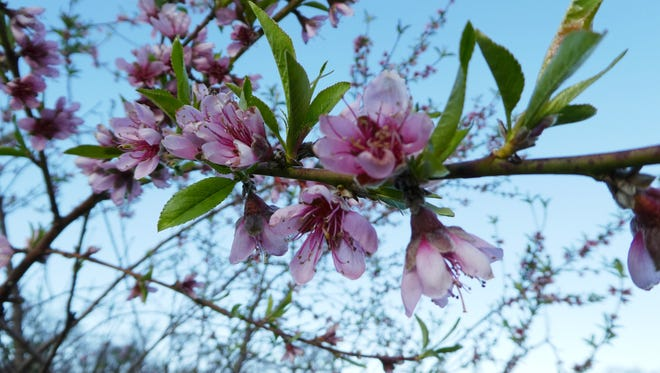 Peach trees bloomed early in Redding this year, making them vulnerable to freezes.