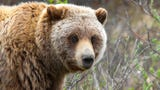 Federal protections for grizzly bears in the Northern Rocky Mountains have been restored, blocking future planned hunts.
