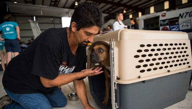 """Angel Hernandez, of Deltona, tends to a timid dog, one of approximately 70 animals flown from Puerto Rico to Treasure Coast International Airport on Oct. 5, 2017, as part of a rescue effort coordinated by Guardians of Rescue and other local and national nonprofit groups. Hernandez, who was volunteering for Pet Haven Rescue of Palm Beach County along with his wife, Sylvia, said his sister and son still are in Puerto Rico following Hurricane Maria. """"We're trying to do our part,"""" he said, """"we're going to be fostering my sister's dogs when they come in."""" The animals that arrived Thursday were treated by local volunteer veterinarians and technicians before moving on to various destinations in Florida."""