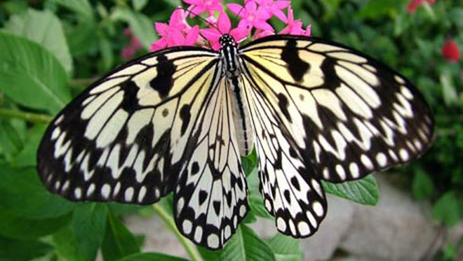 About 2,000 butterflies live at the Butterfly Palace and Rainforest Adventure at any given time.