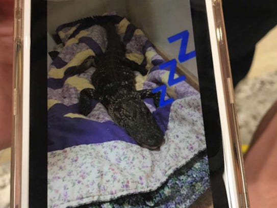 Three students brought this dead alligator to a dorm