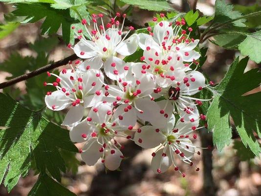 636603507254987585-blooming-hawthorn-IMG-2127-Stan-Rosenthal.jpg