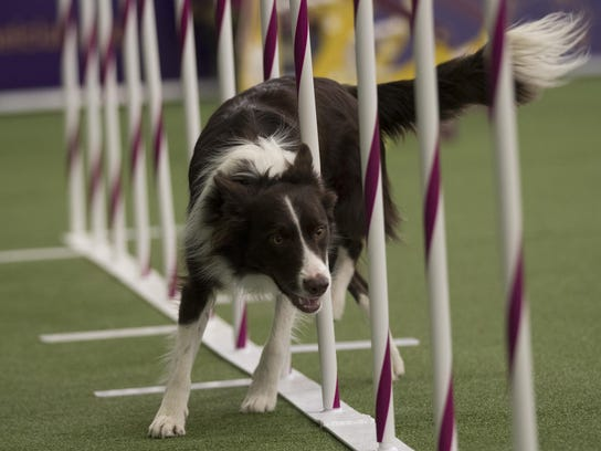 Westminster Dog Show Agility