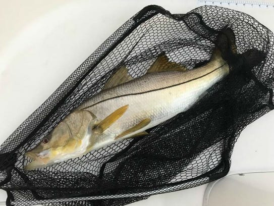 The fall snook season opens for harvest statewide Sept.