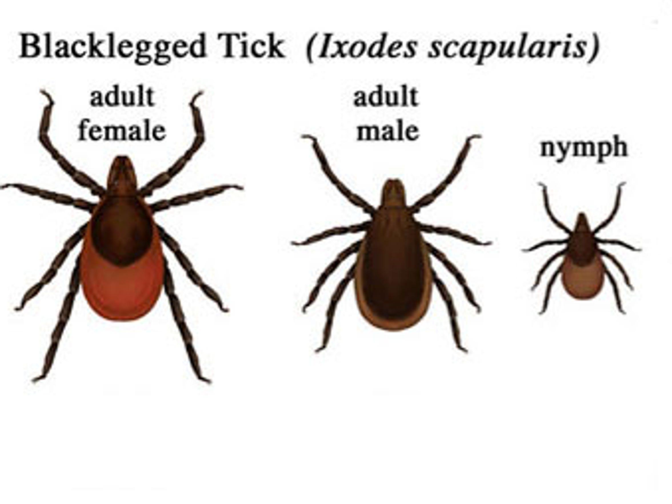 The blacklegged tick, or deer tick, spreads Lyme disease.