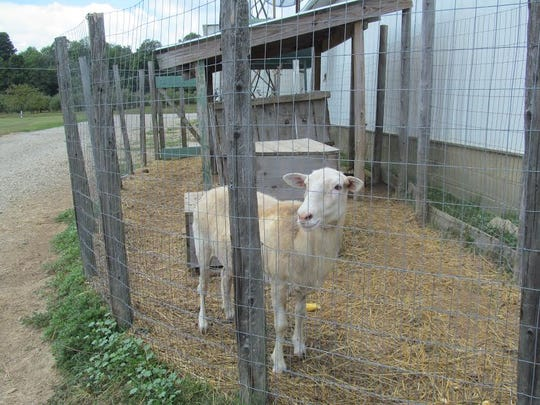 Dolly the sheep will be available at the Harvest Celebration to feed and pet.