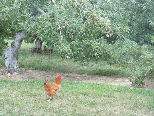 Free range chickens roam the grounds at Apple Hill